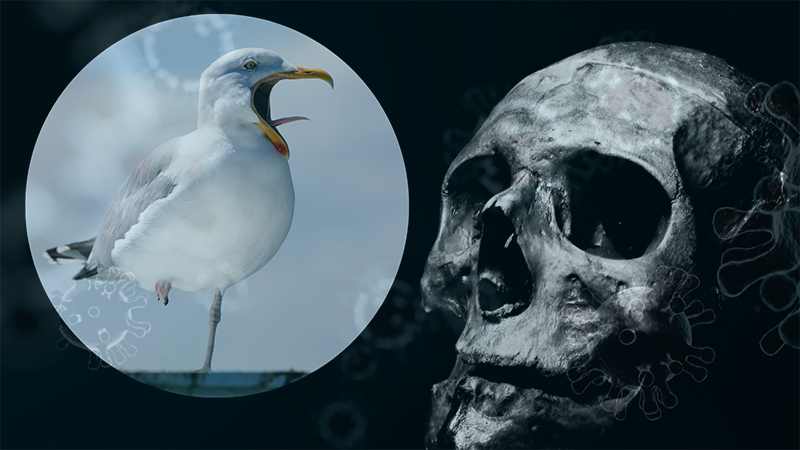 The Sick Seagull Story (How The Scamdemic Panic Started in Ceredigion, Wales)